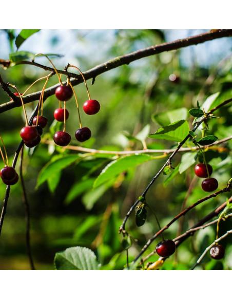 Gikisa sur kirsebærsaft 3 L bag in box fra NaturPoteket